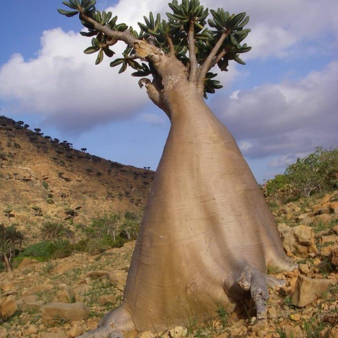 Desert-Rose-or-Bottle-Tree-Socotra